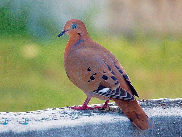 National Symbol turtle dove