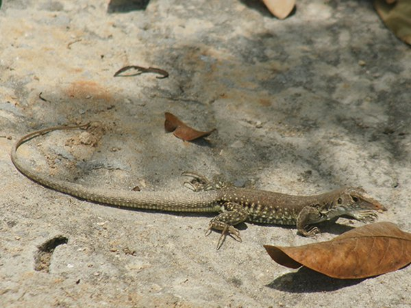 Anguilla National Symbols Ground Lizard