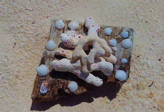 Shells Anguilla