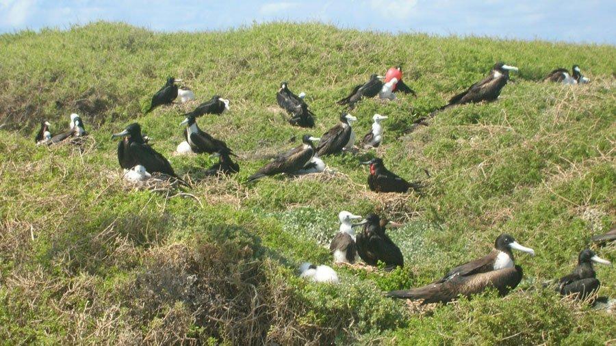 Frigate Bird Anguilla